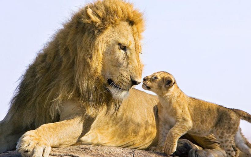GodSons-Lion